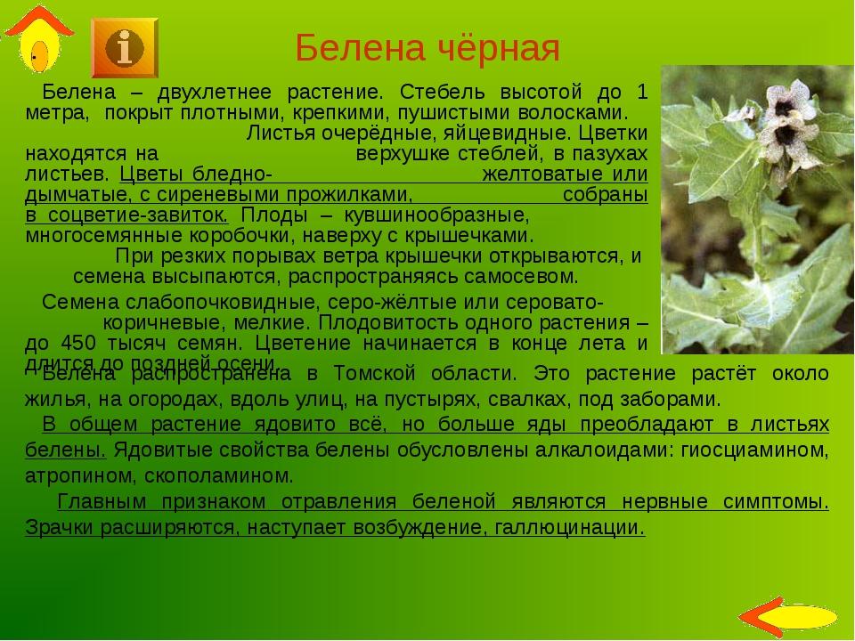 Белена чёрная Белена – двухлетнее растение. Стебель высотой до 1 метра, покры...