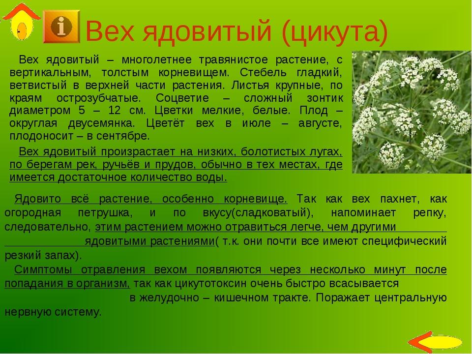 Вех ядовитый (цикута) Вех ядовитый – многолетнее травянистое растение, с верт...