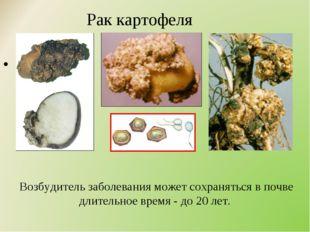 Рак картофеля Возбудитель заболевания может сохраняться в почве длительное в