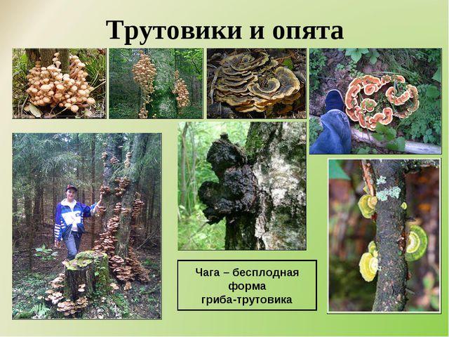 Трутовики и опята Чага – бесплодная форма гриба-трутовика