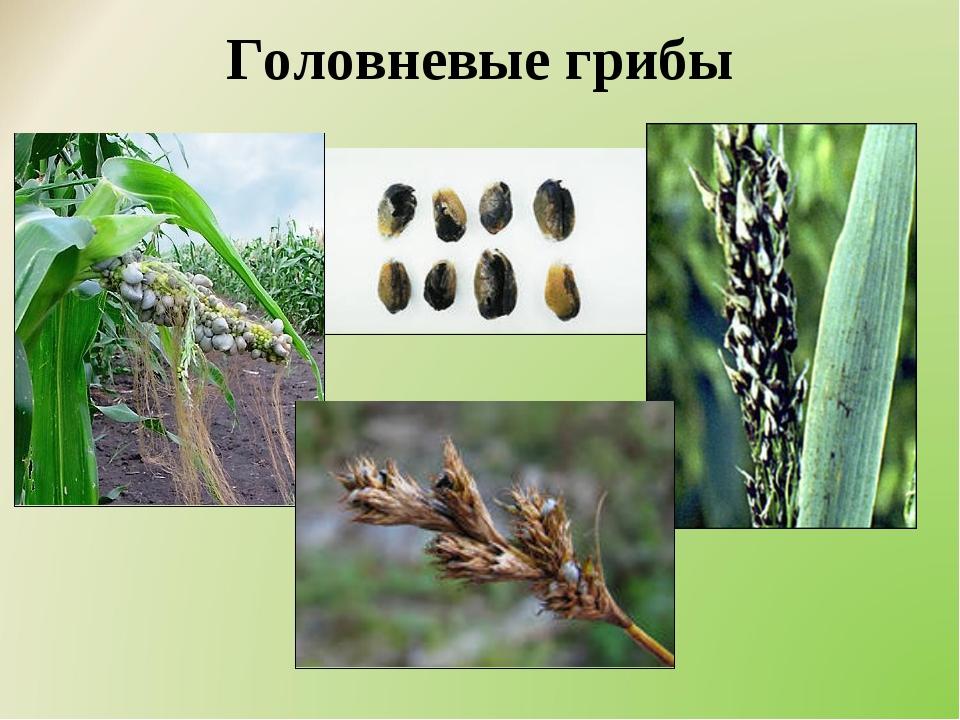 Головневые грибы