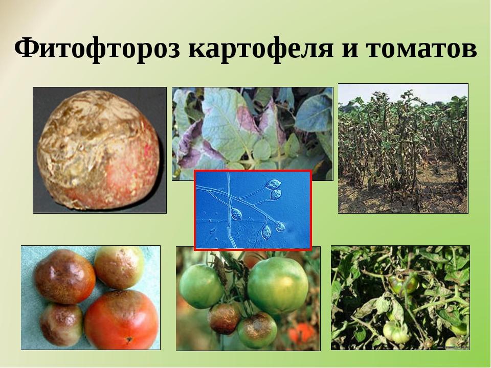 Фитофтороз картофеля и томатов