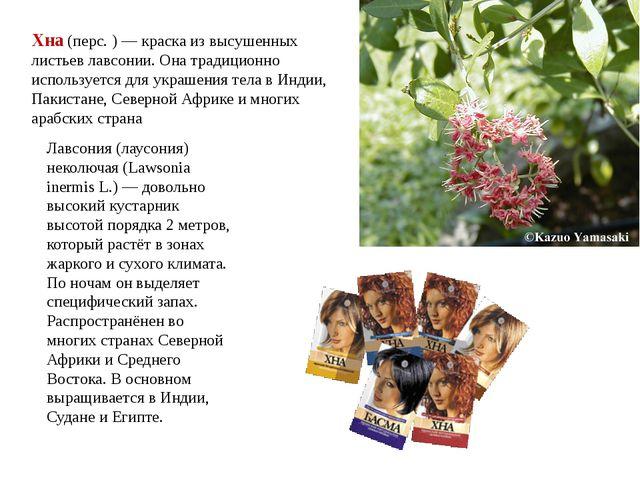 Лавсония (лаусония) неколючая (Lawsonia inermis L.) — довольно высокий куста...