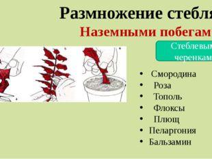 Размножение стеблями Наземными побегами Стеблевыми черенками Смородина Роза Т