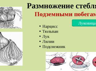 Размножение стеблями Подземными побегами Луковицами Нарцисс Тюльпан Лук Лилии