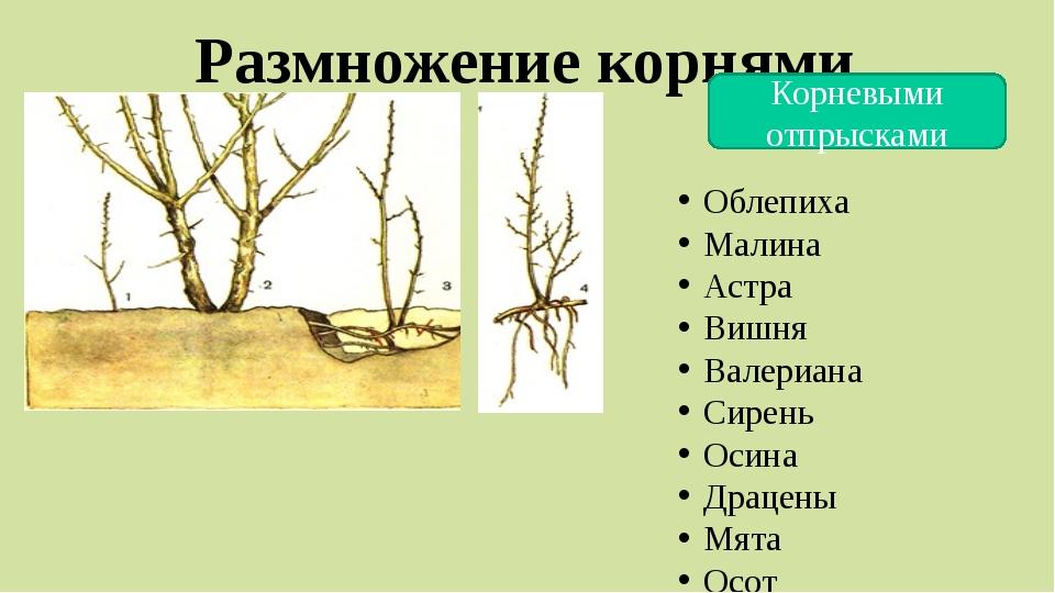Размножение корнями Корневыми отпрысками Облепиха Малина Астра Вишня Валериан...