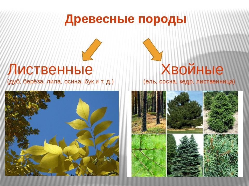 Древесные породы Лиственные Хвойные (дуб, берёза, липа, осина, бук и т. д.) (...
