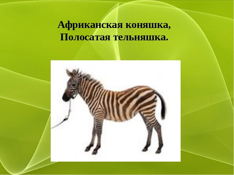 Африканская коняшка, Полосатая тельняшка.