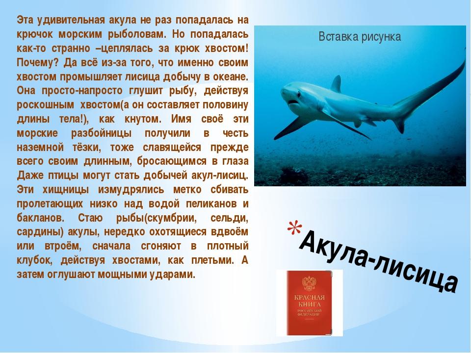 Акула-лисица Эта удивительная акула не раз попадалась на крючок морским рыб...