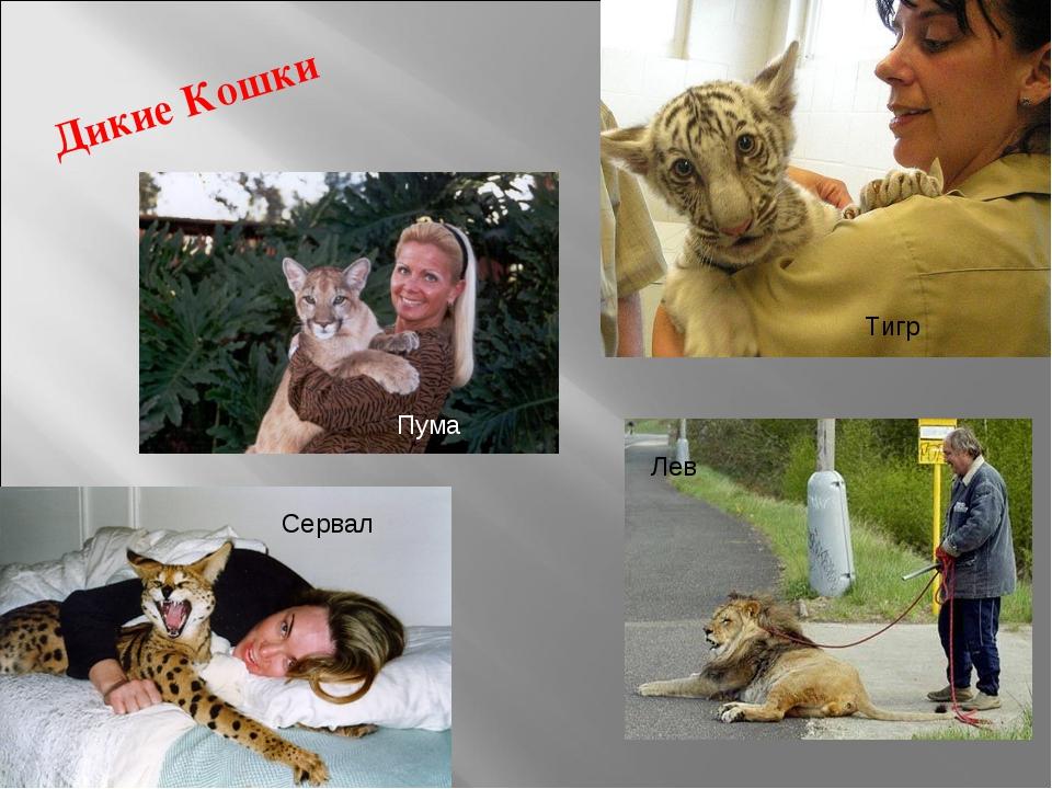 Дикие Кошки Тигр Сервал Лев Пума