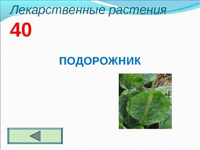 Лекарственные растения 40 ПОДОРОЖНИК