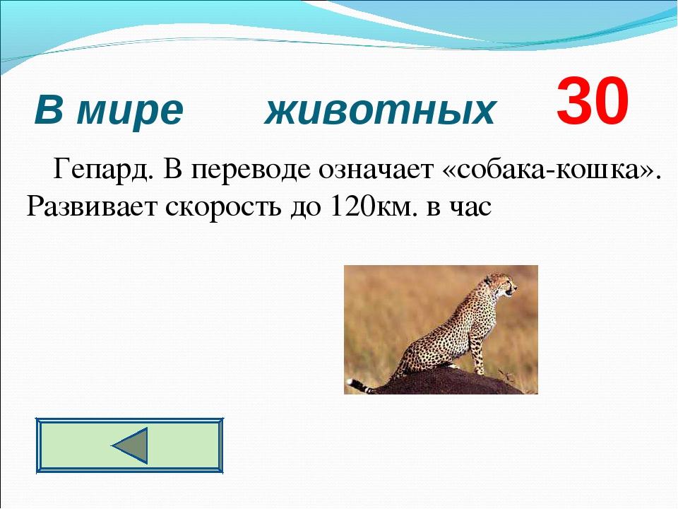 В мире животных 30 Гепард. В переводе означает «собака-кошка». Развивает скор...