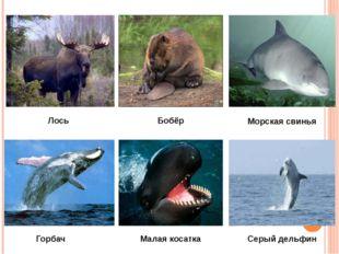 Лось Бобёр Морская свинья Горбач Малая косатка Серый дельфин