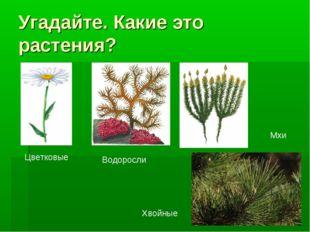 Угадайте. Какие это растения? Цветковые Водоросли Мхи Хвойные