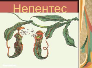 Непентес