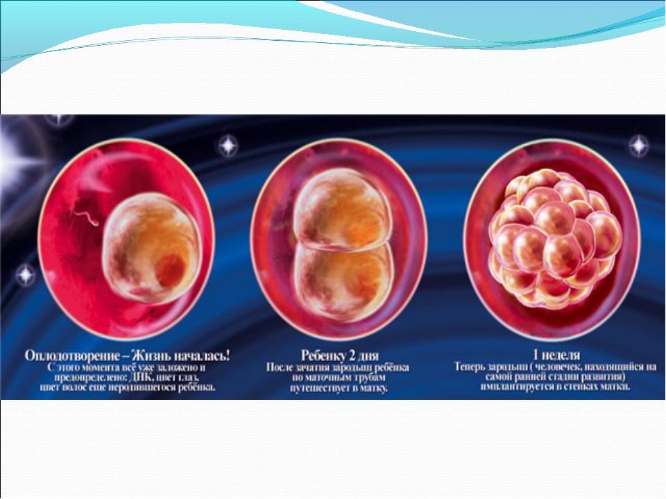 Развитие плода с начала беременности в картинках