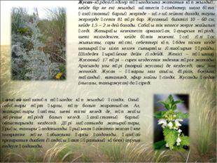 Жусан–күрделігүлділер тұқымдасына жататын көп жылдық, кейде бір не екі жылдық