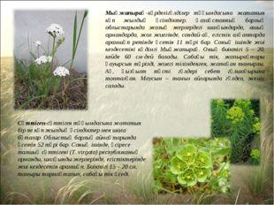 Мыңжапырақ-күрделігүлділер тұқымдасына жататын көп жылдық өсімдіктер. Қазақст