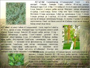 Аққаңбақ қалампырлар тұқымдасының өкілі – көп жылдық өсімдік. Тамыры ұзын, са