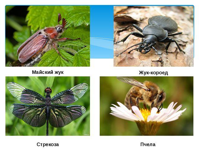 Майский жук Жук-короед Стрекоза Пчела