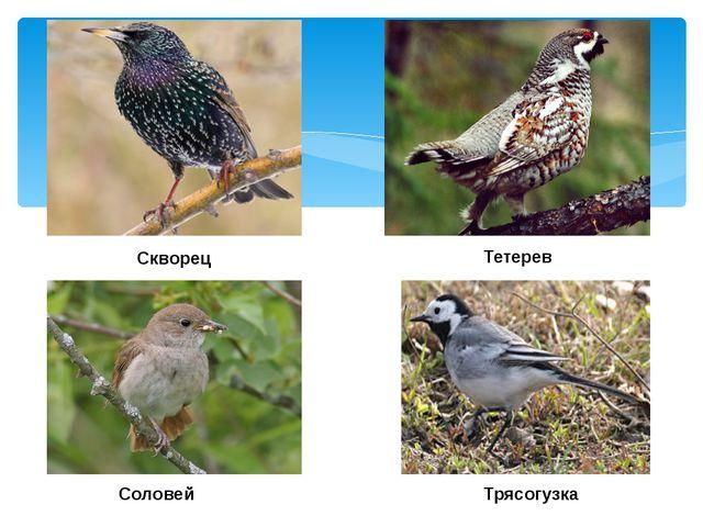 Скворец Тетерев Соловей Трясогузка