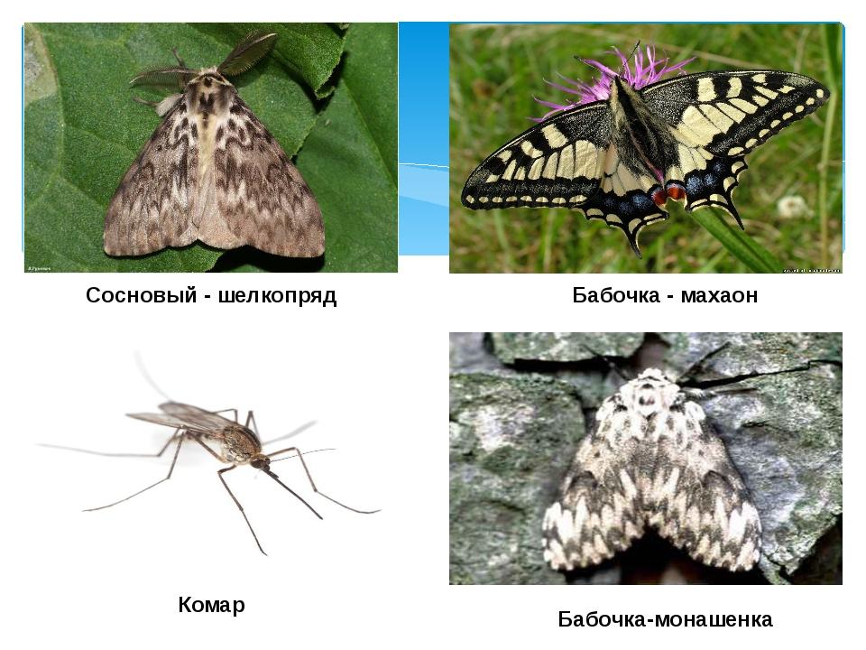 Бабочка - махаон Сосновый - шелкопряд Бабочка-монашенка Комар