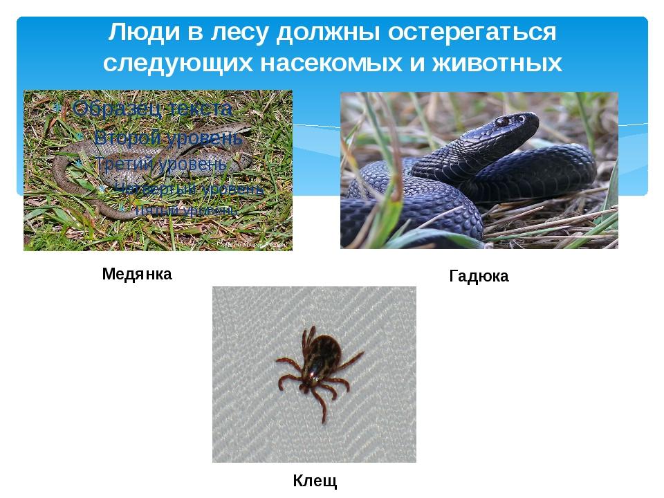 Люди в лесу должны остерегаться следующих насекомых и животных Медянка Клещ Г...
