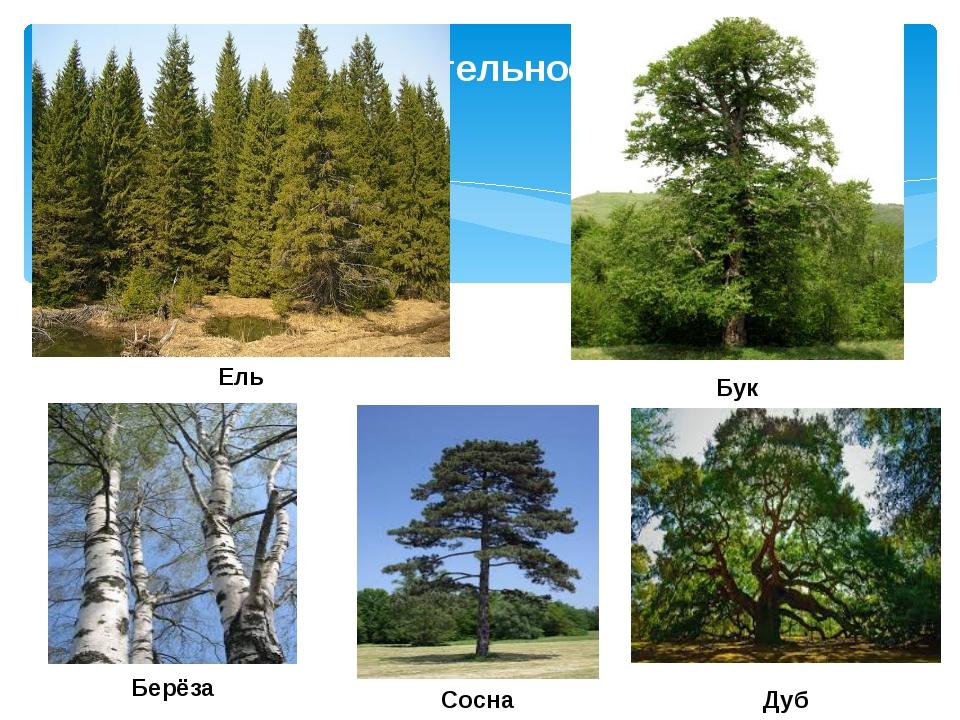 Растительность Ель Берёза Бук Сосна Дуб