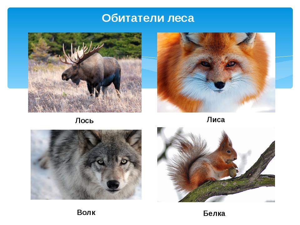 Обитатели леса Лось Лиса Волк Белка