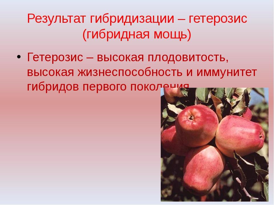 Результат гибридизации – гетерозис (гибридная мощь) Гетерозис – высокая плодо...
