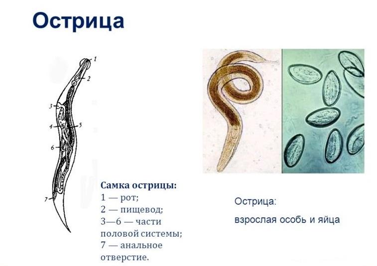 ostrica