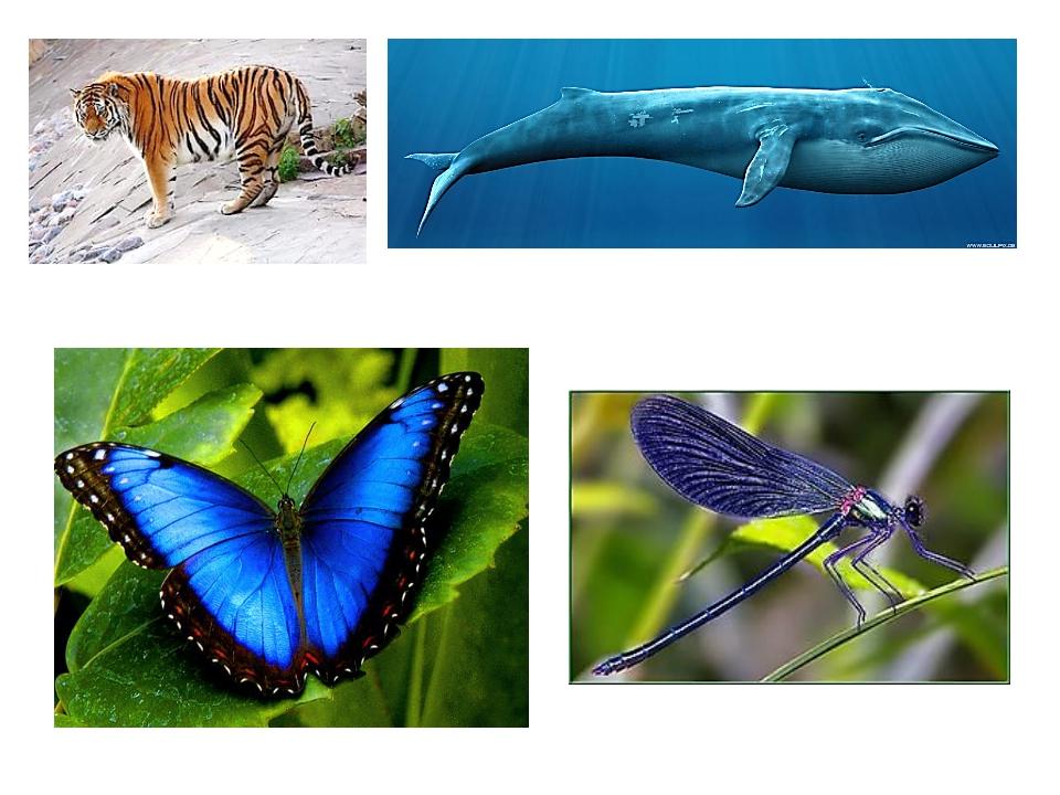 На уроках по предмету «Окружающий мир» ты узнал о редких видах животных: амур...