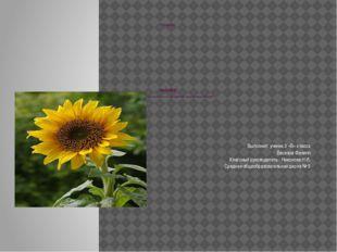 Реферат реферат « Влияние солнца на рост и развитие подсолнечника». Выполнил: