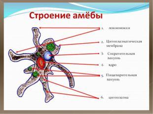 Строение амебы Тело образует выросты – ложноножки Амеба содержит цитоплазму,