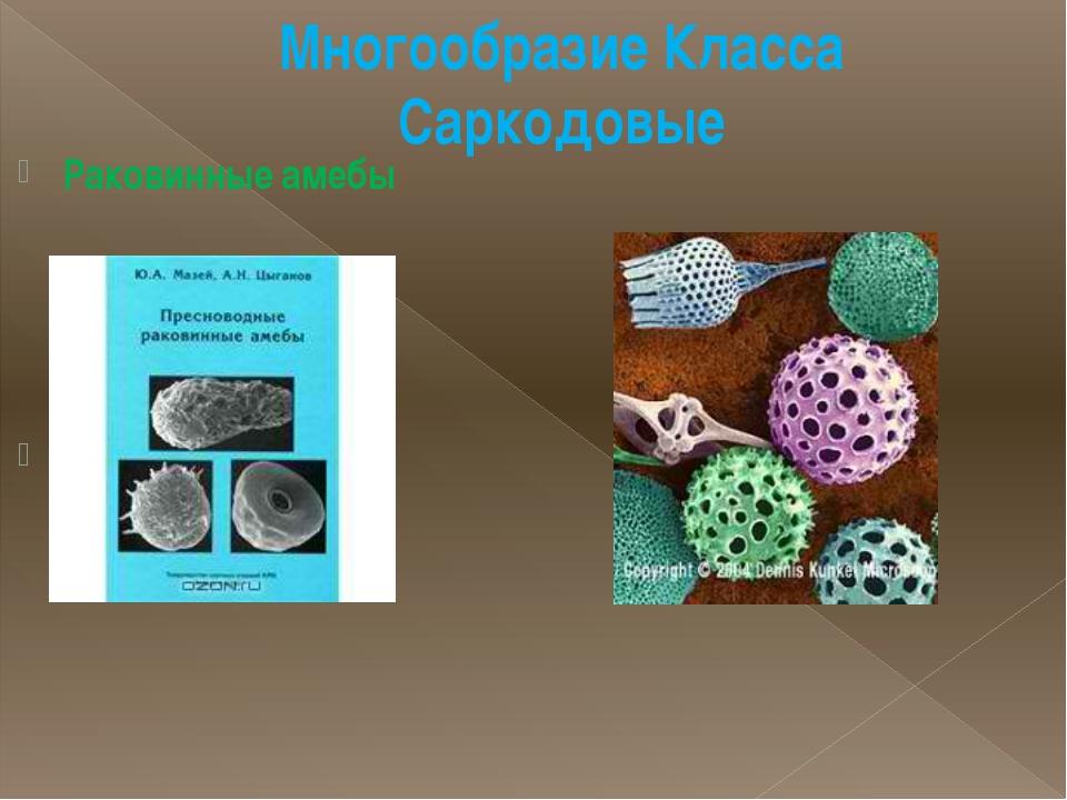 Многообразие Класса Саркодовые Раковинные амебы