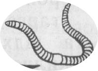 дощовий червяк