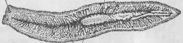 планарія