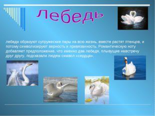 лебеди образуют супружеские пары на всю жизнь, вместе растят птенцов, и потом