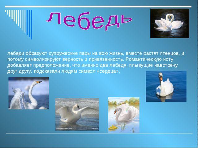 лебеди образуют супружеские пары на всю жизнь, вместе растят птенцов, и потом...