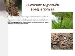 Значение муравьёв вред и польза В то же время муравьи нередко повреждают огор