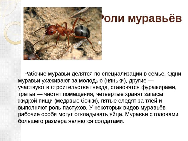 Роли муравьёв Рабочие муравьи делятся по специализации в семье. Одни муравьи...