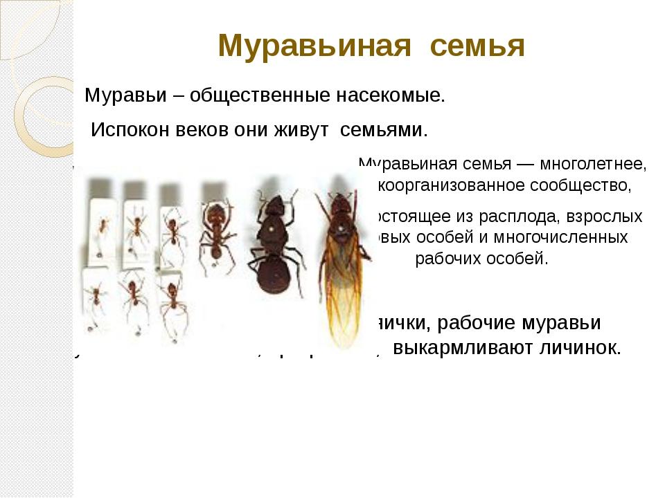 Муравьиная семья Муравьи – общественные насекомые. Испокон веков они живут се...