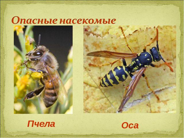 Пчела Оса