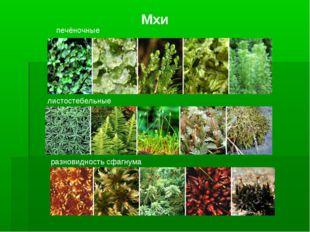 Мхи печёночные листостебельные разновидность сфагнума