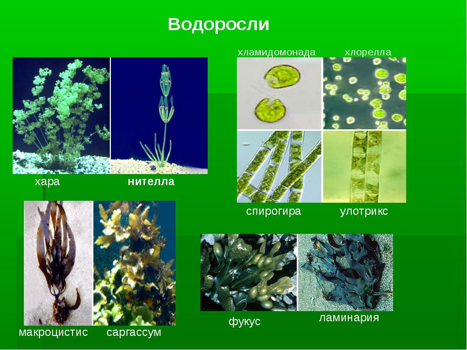 Водоросли хара нителла макроцистис саргассум хламидомонада хлорелла спирогира...
