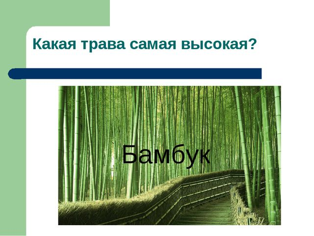 Какая трава самая высокая? Бамбук