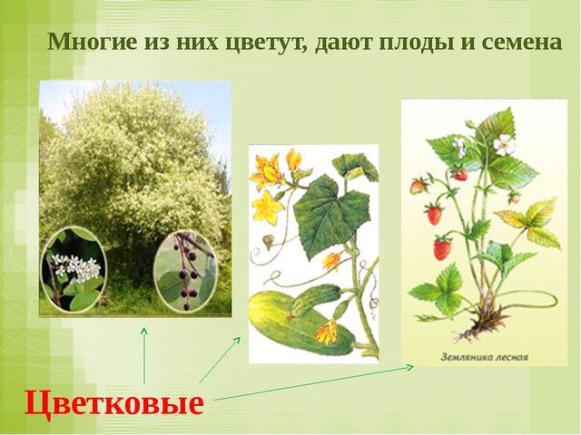 Многие из них цветут, дают плоды и семена Цветковые