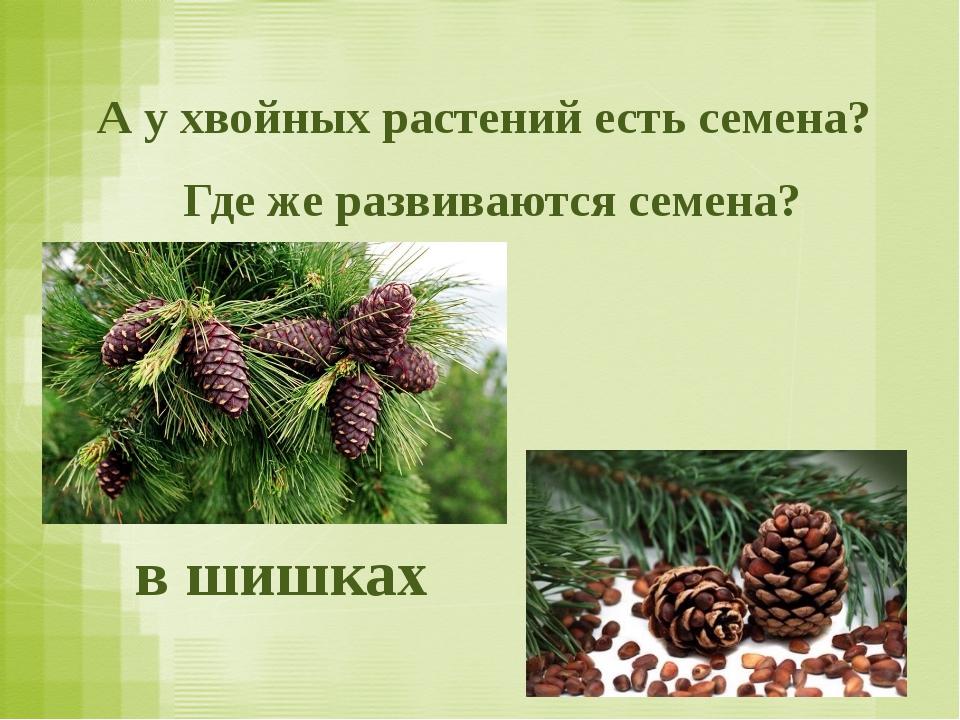 Где же развиваются семена? в шишках А у хвойных растений есть семена?