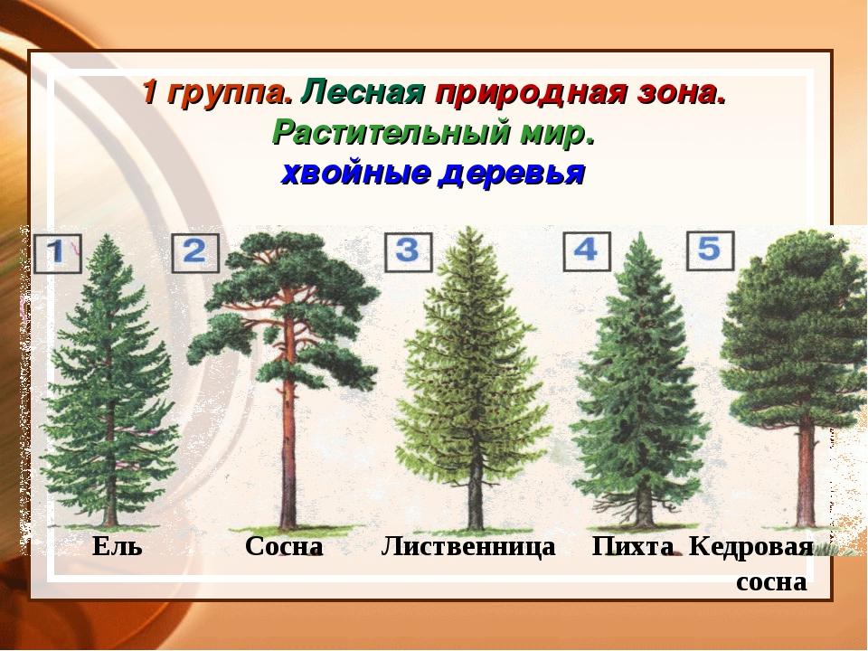 1 группа. Лесная природная зона. Растительный мир. хвойные деревья Ель Сосна...