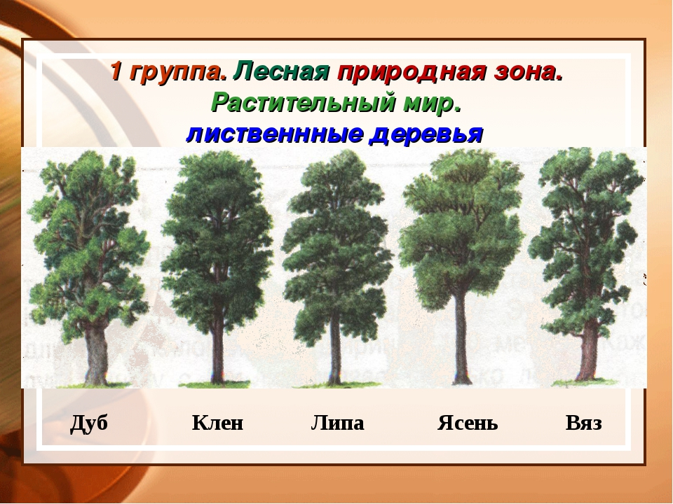 1 группа. Лесная природная зона. Растительный мир. лиственнные деревья Дуб Кл...